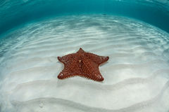 Caribbean Sea Star 1 Stock Photos