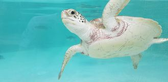 Caribbean sea turtle in Mexico royalty free stock images