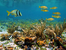 Caribbean sea wildlife. Coral reef with colorful tropical fish and water surface, Caribbean sea Stock Photos