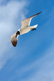 Caribbean Seagull Flying Royalty Free Stock Photos