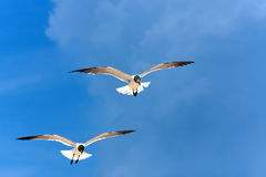 Caribbean Seagulls Flying Stock Image