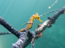 Caribbean Seahorse. Seahorse holding onto a branch. A very rare sighting. Amazing marine life stock image