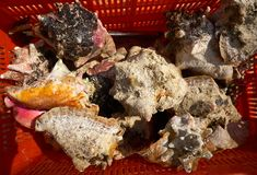 Caribbean seashells catch in Mexico Stock Photography