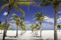 Caribbean Shade - Row of Palm Trees Leading to Sea