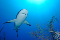 Caribbean Shark Over Corals Royalty Free Stock Photography