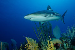 Caribbean Shark in the reef Royalty Free Stock Image