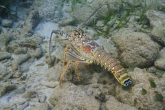 Caribbean spiny lobster Royalty Free Stock Photography