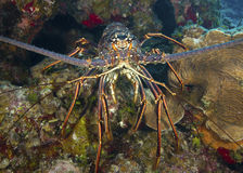 Caribbean Spiny Lobster Closeup Stock Photography