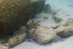 Caribbean Spiny lobster Stock Photography