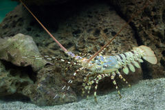Caribbean spiny lobster Panulirus argus Royalty Free Stock Photo