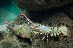 Caribbean spiny lobster Panulirus argus Stock Images