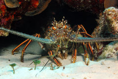 Caribbean Spiny Lobster Royalty Free Stock Photos