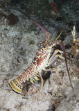 Caribbean Spiny Lobster Royalty Free Stock Photo