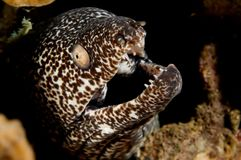 Caribbean spotted moray. On reef. Bonaire Stock Photography