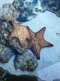 Caribbean Starfish. Awesome Beautiful Starfish at the bottom of the Sea stock photos