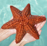 Caribbean starfish Stock Image