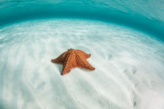 Caribbean Starfish on Sand. A red cushion starfish (Oreaster reticulates) lies on a seagrass meadow off the coast of Belize in the Caribbean Sea. This common Stock Photo