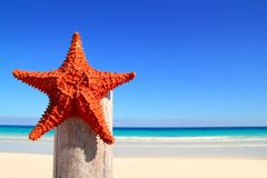 Caribbean starfish on wood pole beach Stock Image