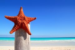 Caribbean starfish on wood pole beach Royalty Free Stock Image