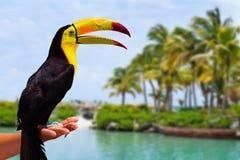 Caribbean Toucan in the Mayan Riviera Stock Photos