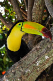 Caribbean Toucan in the Mayan Riviera  Stock Images