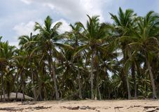 Caribbean Tropical Coconut Trees Royalty Free Stock Images