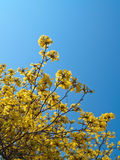 Caribbean trumpet. (Ipe flower) blooming This is species of Tabebuia, Family Bignoniaceae Stock Photo