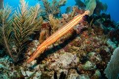 Caribbean trumpetfish Stock Images