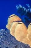 Caribbean tube sponges Stock Photos