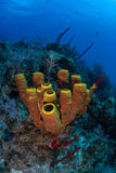 Caribbean Tube Sponges. Tube sponges grow on a coral reef near the island of Grand Cayman. The Cayman islands are a popular Caribbean destination for divers Stock Photos