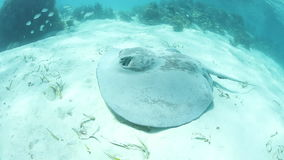 Caribbean Whiptail Stingray stock footage