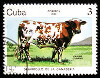 Caribe Cubano cow, circa 1984. MOSCOW, RUSSIA - FEBRUARY 19, 2017: A post stamp printed in CUBA shows a Caribe Cubano cow, circa 1984 royalty free stock image