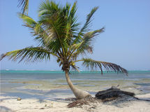Caribe palm. Picture of caribean palm at Mahahual Mexico Royalty Free Stock Photos