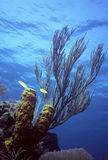 Caribe shallow reef. Yellow Tube Sponges and a knobby Gorgonian on a shallow Caribbean reef stock image
