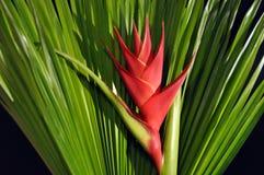 caribeaheliconia Royaltyfria Foton