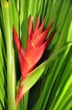 caribeaheliconia Arkivbild