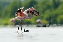 Caribean Flamingo Stock Image