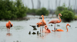 Caribean Flamingo bathing royalty free stock image
