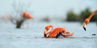 Caribean Flamingo bathing stock image