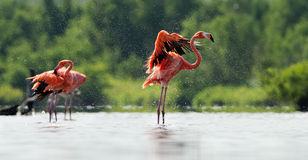Caribean Flamingo bathing Royalty Free Stock Photography