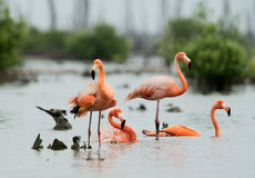 Caribean Flamingo bathing Stock Images