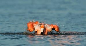 Caribean Flamingo bathing Royalty Free Stock Photos