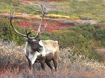 Cariboe среди тундры падения Стоковое Изображение