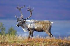 在秋天寒带草原的Cariboe 库存图片