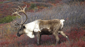 Cariboe on Fall Tundra. Male Caribou Grazing on Red Fall Tundra Royalty Free Stock Photography