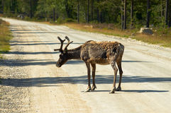 Cariboo on road. In Norway,Europe Royalty Free Stock Images