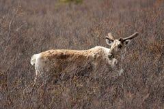 caribou πεδίο Στοκ εικόνα με δικαίωμα ελεύθερης χρήσης