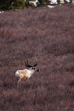 caribou πεδίο Στοκ φωτογραφία με δικαίωμα ελεύθερης χρήσης