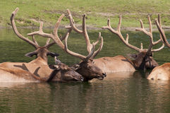 Caribou. Deer wading in water stock image
