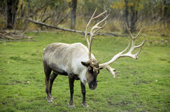 Caribou. Wild caribou with big antlers in Alaska stock photos